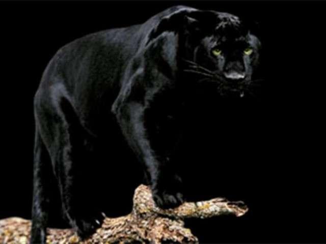 فهود اسود ونمور برية الحيوانات المفترسة feline27.jpg